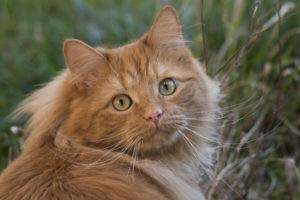 Fotografia animale gatto siberiano di colore rosso