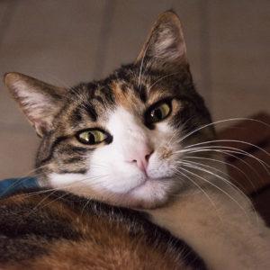 Gatta Pepita modella di Pet Photografy